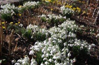 Vintergækker, krokus og tulipaner i haven?